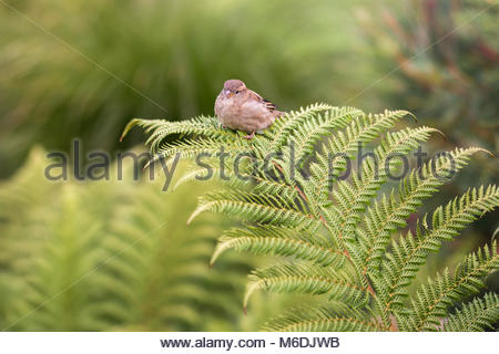 Sparrow on a fern frond in Christchurch Botanical Garden, New Zealand - Stock Image