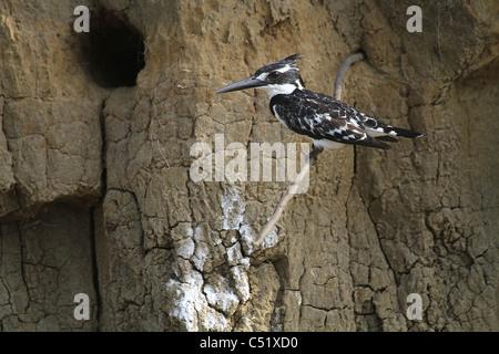 Pied Kingfisher (Ceryle rudis ) Saadani Tanzania next to nesting hole. - Stock Image