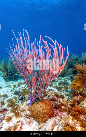 Coral reef off coast of Roatan with Sea whip - Stock Image