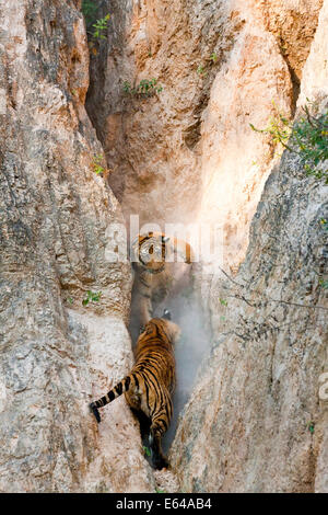 Tigers play fighting, Indochinese tiger or Corbett's tiger (Panthera tigris corbetti), Thailand - Stock Image