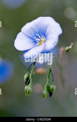 Selective focus image of a blooming Blue flax (Linum perenne). - Stock Image