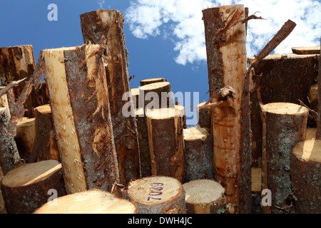 Stacked timber waiting for transport to paper mills. - Stock Image