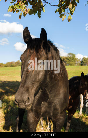 Nice profile shot of a chestnut horse under a shade tree in against rural background of fields in New Jersey - Stock Image