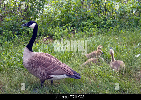 A wild mama goose watches over her three fuzzy baby goslings in tall grass on a cloudy spring day - Stock Image