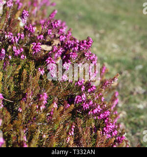 Purplish pink lavender flowers photographed in Nyon, Switzerland during a sunny spring day. Beautiful flowers with amazing color. Closeup image. - Stock Image