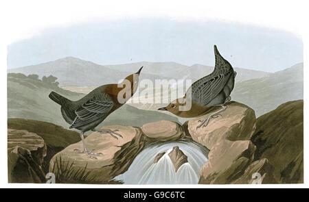 American Dipper, Cinclus mexicanus, birds, 1827 - 1838 - Stock Image