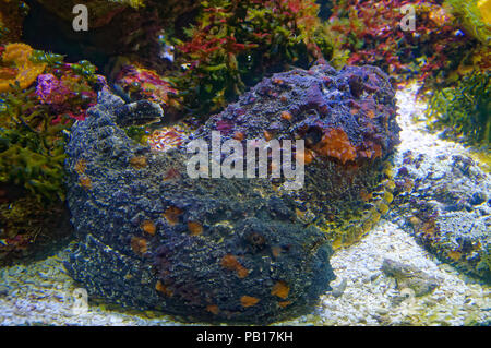 Synanceia verrucosa known as the reef stonefish is the most dangerous venomous fish in the world.it look like a rock - Stock Image