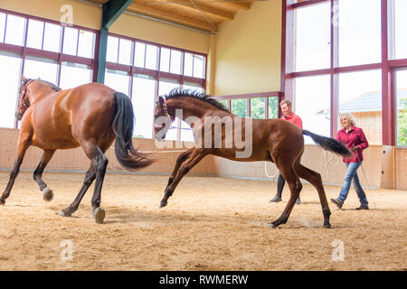 Iberian Sport Horse. A foal learns to walk on the lunge using its mothers example. Germany - Stock Image
