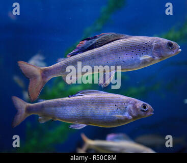 Two Arctic Grayling one with colorful dorsal fin cold freshwater fish swimming underwater in an aquarium - Stock Image