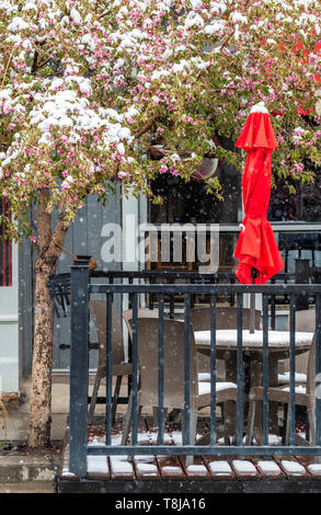 Flowering Crab Apple tree in fresh springtime snow; outdoor cafe; Currents restaurant; Salida; Colorado; USA - Stock Image
