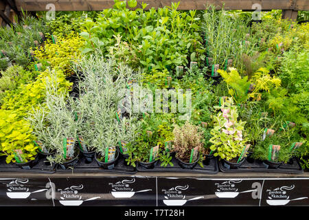 Display of Kitchen Garden Herb bedding plants for spring planting in a Garden Centre - Stock Image