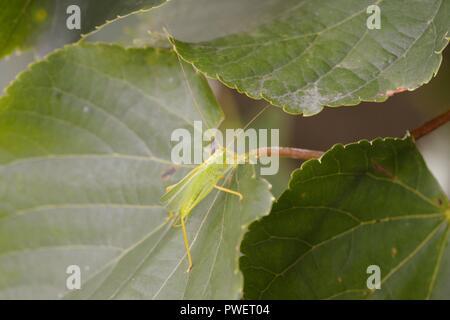 Meconema thalassinum, Oak Bush Cricket amongst Small Leaved Lime, Tilia cordata leaves, Wales, UK. - Stock Image