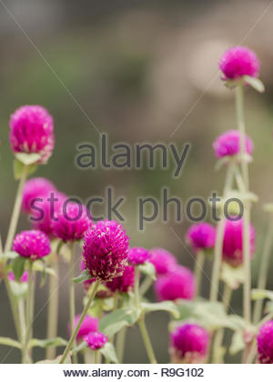 beautiful little flowers petal purple color on garden with bokeh background symbol of beautification - Stock Image