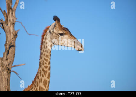 Profile head shot of South African Giraffe against blue sky with dead tree in background - Stock Image