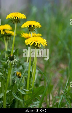 Dandelion flowers - Stock Image