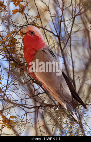 A Rose-Breasted Cockatoo (Eolophus roseicapilla), in Northern Territory,  Australia - Stock Image