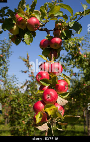 Apples on the tree, Additional-Rights-Clearance-Info-Not-Available - Stock Image