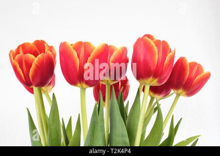 red orange tulips in white isolated background. - Stock Image