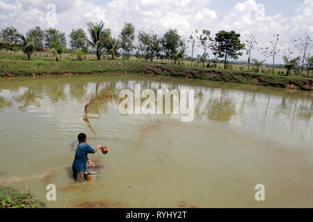 BANGLADESH Worker feeding fish with cow dung. Fish hatchery employing scientific methods at Haluaghat, Mymensingh region photo by Sean Sprague - Stock Image