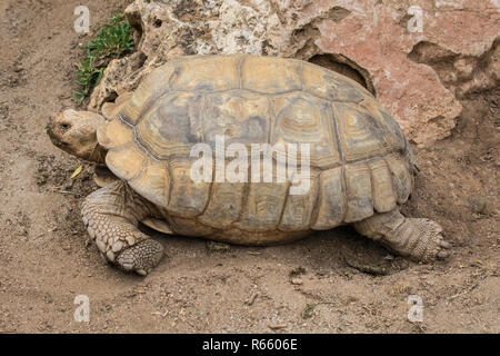 A view of an African Spurred Tortoise. - Stock Image