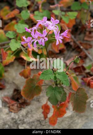 A Pink Madagascan Pelargonium, Pelargonium sp., Geraniaceae. Madagascar, Africa. - Stock Image