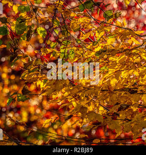 Golden coloured leaves on tree in autumn - Stock Image