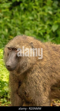 close up of olive baboon (Papio anubis), Kibale National Park , Uganda, Africa - Stock Image