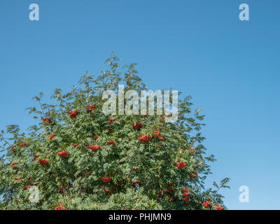Scarlet fruits and foliage of the Rowan (Sorbus aucuparia) tree in bright sunshine. Fruits used to make Rowan Jelly.  Autumn berries concept. - Stock Image