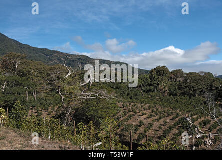 Coffee plantation in the highland at Boquete Panama - Stock Image