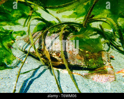 A red rock crab hiding under sea grass in a tide pool - Stock Image