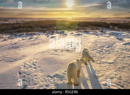 Two adult polar bears together in their natural Arctic snowy tundra habitat, as the sunrise casts golden light on the wide landscape scene. Churchill, - Stock Image