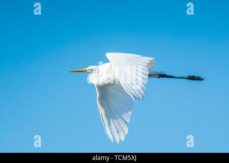 Closeup of a  great egret Ardea alba in flight, fishing in a lake during sunset - Stock Image