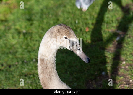 The head and neck of a mute swan (Cygnus olor) cygnet approximately 6 months old facing to the right against a mainly green background - Stock Image
