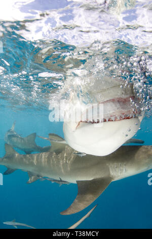 Lemon Shark (Negaprion brevirostris) Showing Teeth, Close-up Split Shot at Surface. Tiger Beach, Bahamas - Stock Image