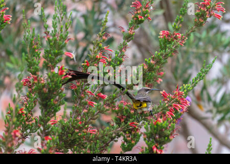 Male Cape sugarbird, Promerops cafer, sitting on a flower with back towards the camera and turning head towards the camera, Western cape, South Africa - Stock Image