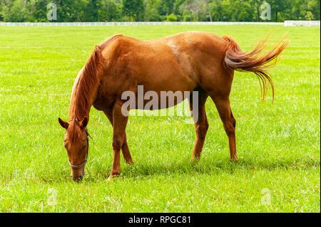Thoroughbred horse on a Kentucky horse farm - Stock Image
