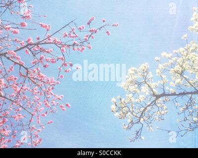White magnolia tree and pink Hana Peach flowering branches with blue sky in the background, with painterly paper - Stock Image