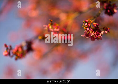 Roslyn, New York, U.S. - April 12, 2014 - Trees are budding colorful red, on a warm sunny spring day on Long Island. Credit:  Ann E Parry/Alamy Live News - Stock Image