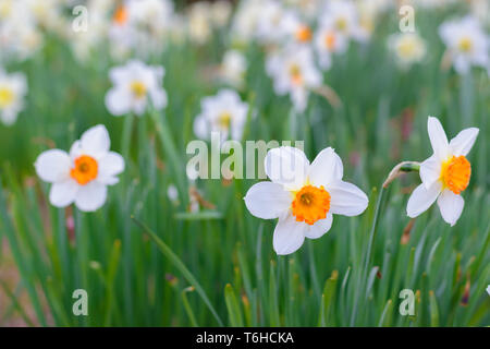 Narcissus Barrett Browning (Small cupped daffodil) flowers - Stock Image