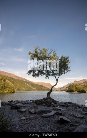 Tree by Llyn Padarn in Llanberis, Wales, UK - Stock Image