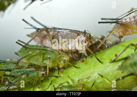 Rose aphid, Macrosiphum rosae, photomicrograph of  infestation on a rose, Rosa spp., bud, Berkshire, June - Stock Image