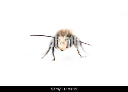 Male Mason Bee  (Osmia lignaria) - front view on a white background - Stock Image