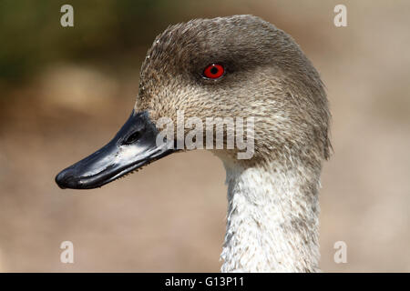 Patagonian Crested Duck (Lophonetta specularioides) - Stock Image