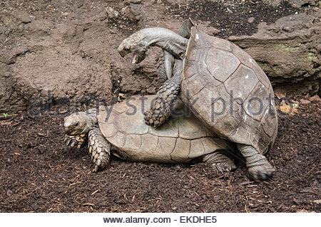 Mating pair of Burmese Mountain Tortoises, Manouria emys emys, native to Southeast Asia, Tropical Rain Forest, Tropic - Stock Image