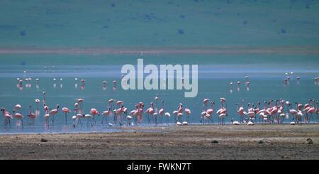 Pink Lesser Flamingo (Phoenicopterus minor) flock in shallow saline lake in Ngorongoro Crater, Tanzania, Africa - Stock Image