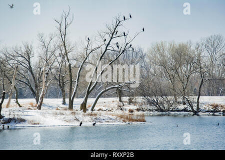 Double crested cormorants, Phalacrocorax auritus, gather in a bare tree across a small lake after a snow. Sedgwick County Park, Wichita, Kansas, USA. - Stock Image
