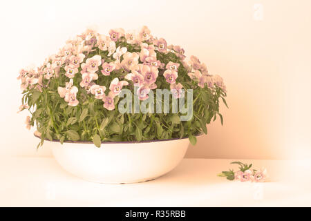 Pansy flowers in shades of lilac, violet and blue in a vintage wash basin or bowl on white background, vintage filter effect - Stock Image