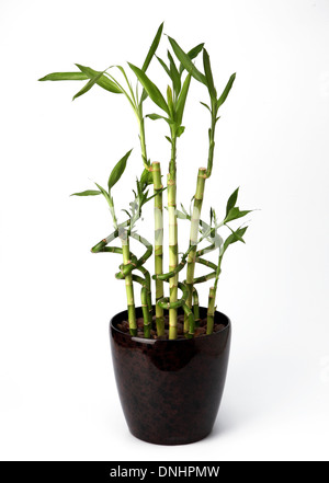 A bamboo plant in a container on a white background - Stock Image