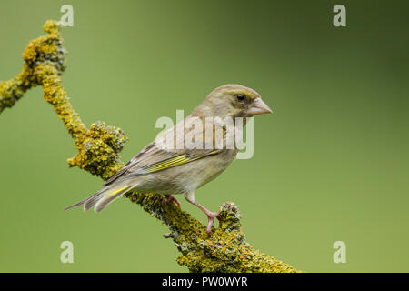 Female greenfinch, Latin name Carduelis chloris, perched on a lichen covered branch against a green background - Stock Image
