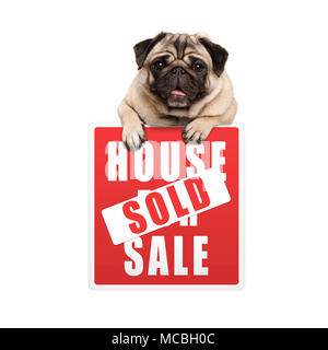 cute smiling pug puppy dog hanging with paws on red house sold sign, isolated on white background - Stock Image
